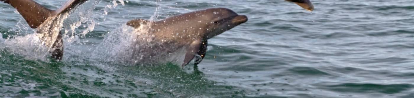 Port Aransas Dolphin Banner